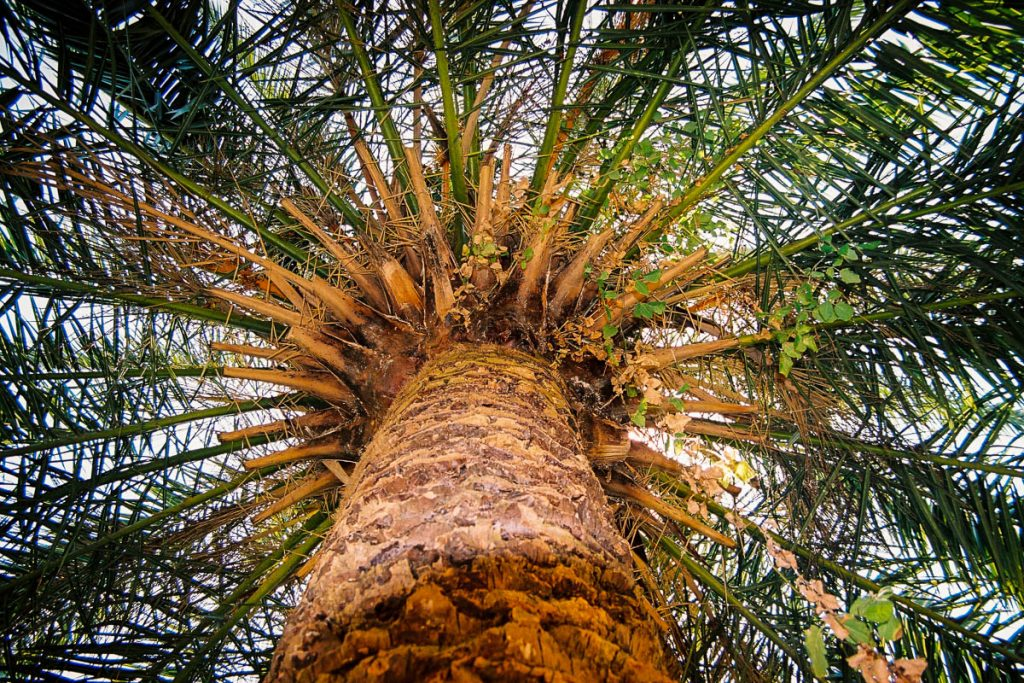 Palmboom,Park Güell, Barcelona, Catalonië, Spanje (2003)