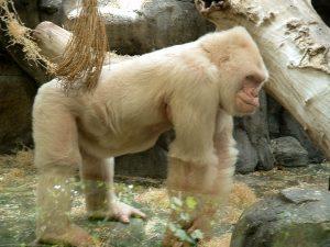 Sneeuwvlokje, de albino westelijke laaglandgorilla (Gorilla gorilla gorilla)