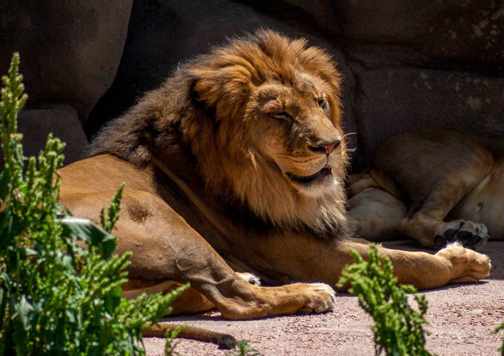 Leeuw (Panthera leo krugeri),Denver Zoo, Denver, Colorado, Verenigde Staten (2006)