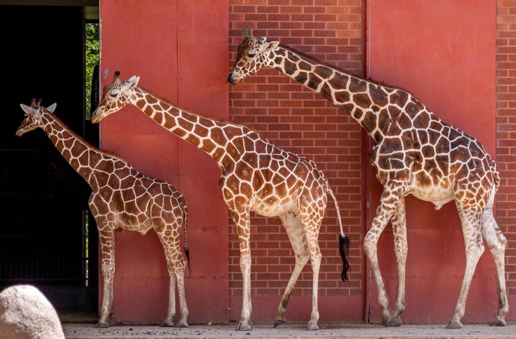 Somalische Giraffe (Giraffa camelopardalis reticulata),Denver Zoo, Denver, Colorado, Verenigde Staten (2006)
