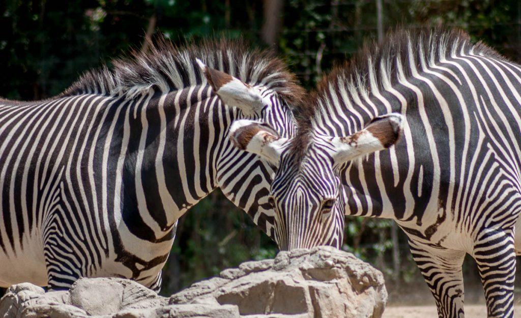 Grévyzebra (Equus grevyi),Denver Zoo, Denver, Colorado, Verenigde Staten (2006)