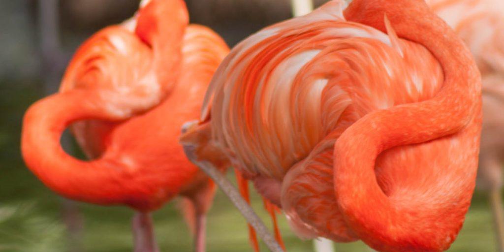 Rode Flamingo (Phoenicopterus ruber)