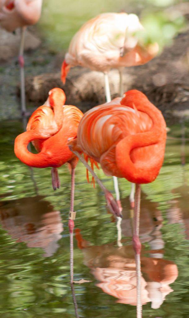 Rode Flamingo (Phoenicopterus ruber),Denver Zoo, Denver, Colorado, Verenigde Staten (2006)