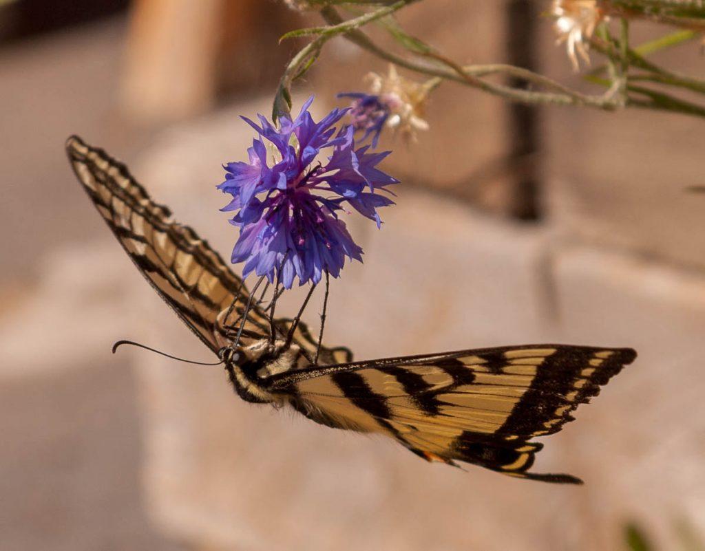 Papilio Rutulus op een Korenbloem (Centaurea cyanus),Valley Inn, Bryce, Utah, Verenigde Staten (2006)
