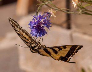 Papilio Rutulus op een Korenbloem (Centaurea cyanus)