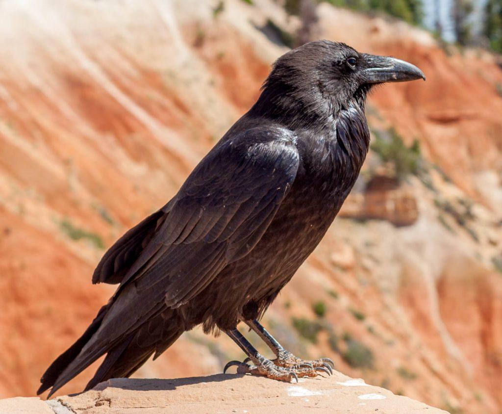Raaf (Corvus corax),Bryce Canyon National Park, Utah, Verenigde Staten (2006)