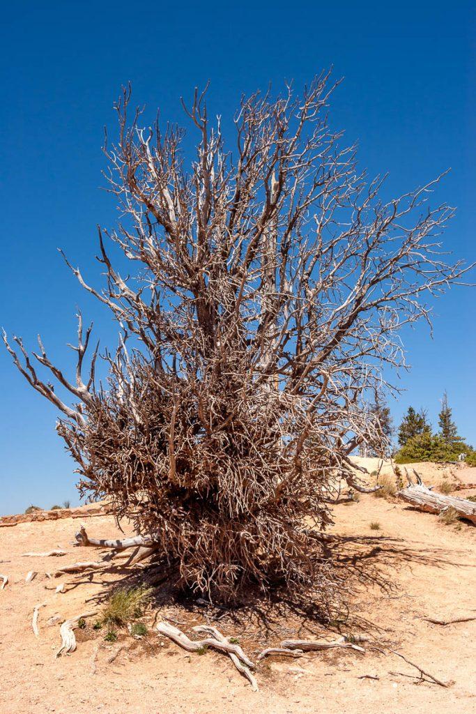 Great Basin Bristlecone Pine (Pinus longaeva),Bryce Canyon National Park, Utah, Verenigde Staten (2006)