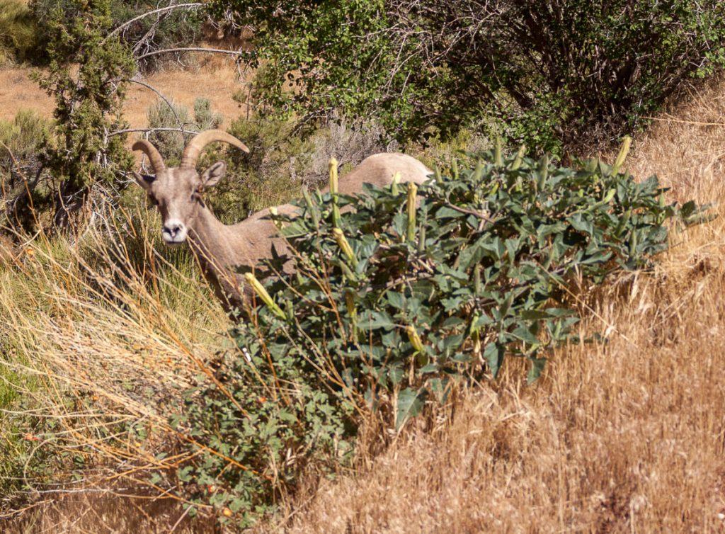 Dikhoornschaap (Ovis canadensis),Zion National Park, Utah, Verenigde Staten (2006)