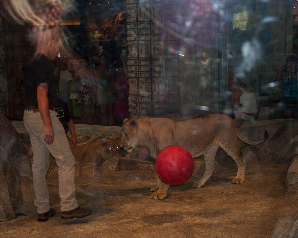 Leeuw (Panthera leo),MGM Grand, Las Vegas, Nevada, Verenigde Staten (2006)