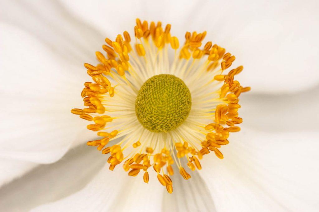 Chinese anemoon (Anemone hupehensis),Lelystad, Flevoland (2006)