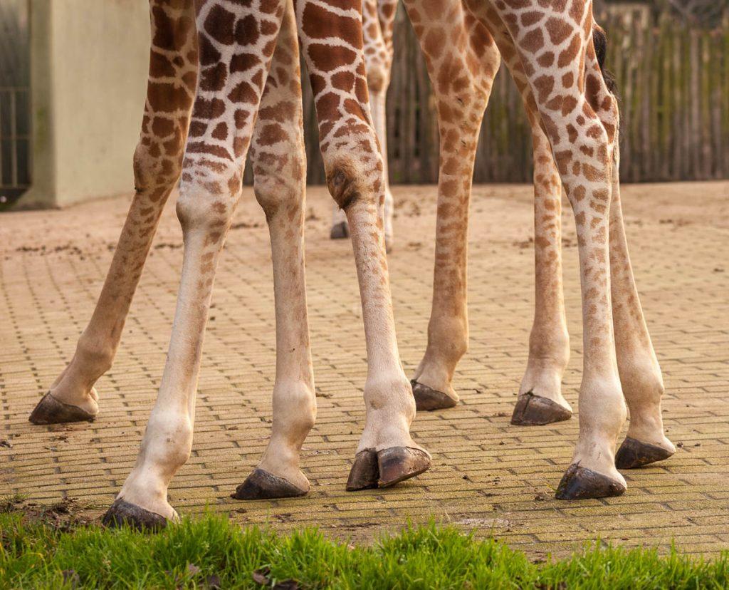 Somalische Giraffe (Giraffa camelopardalis reticulata),Diergaarde Blijdorp, Zuid-Holland, Zuid-Holland (2006)