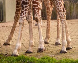 Somalische Giraffe (Giraffa camelopardalis reticulata)