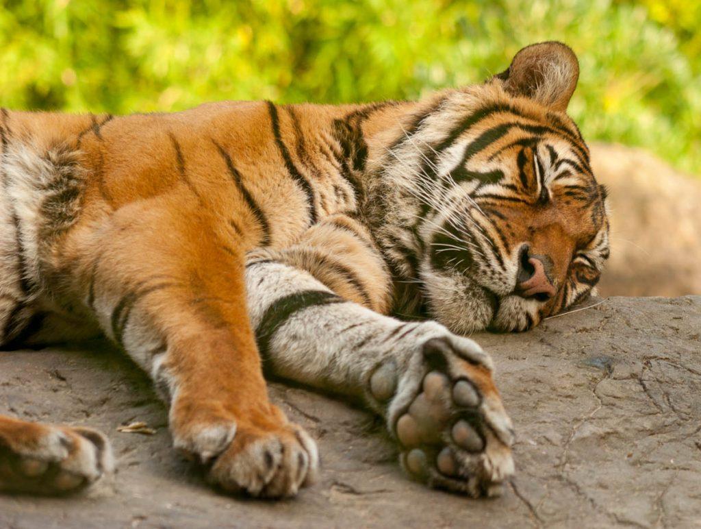 Sumatraanse Tijger (Panthera tigris sumatrae),Diergaarde Blijdorp, Zuid-Holland, Zuid-Holland (2006)