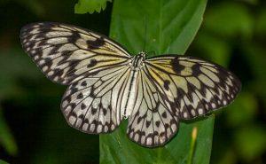 Paiervlinder (Idea leuconoe)