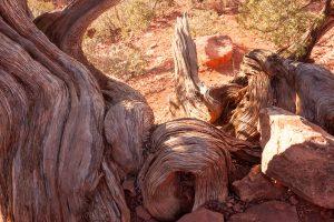Juniperus (Juniperus osteosperma)