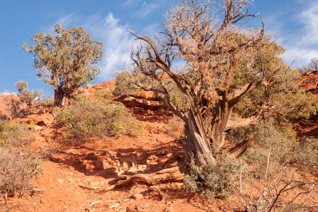 Juniper tree (Juniperus osteosperma),Sedona, Arizona, United States (2007)