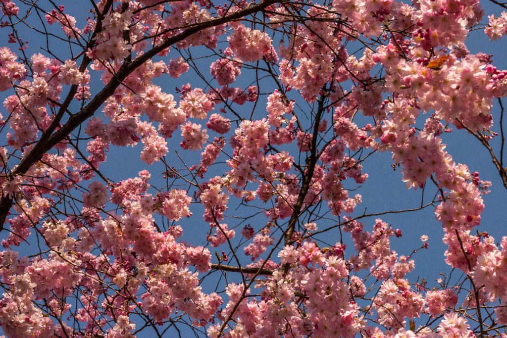 Japanse Sierkers (Prunus serrulata),Duisburg Zoo, Duisburg, Noordrijn-Westfalen, Duitsland (2007)