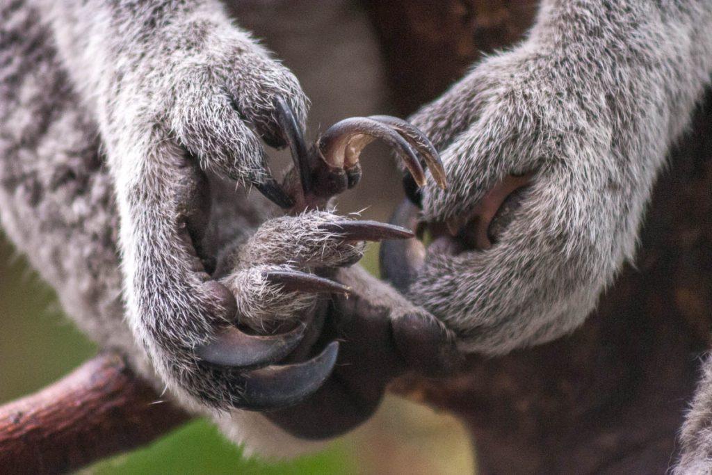 Koala (Phascolarctos cinereus),Duisburg Zoo, Duisburg, Noordrijn-Westfalen, Duitsland (2007)