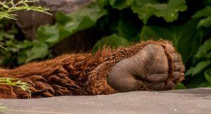 Kodiakbeer (Ursus arctos middendorffi)