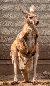 Rode Reuzenkangoeroe (Macropus rufus)