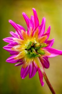 Pink Jupiter (Semi cactus dahlia)