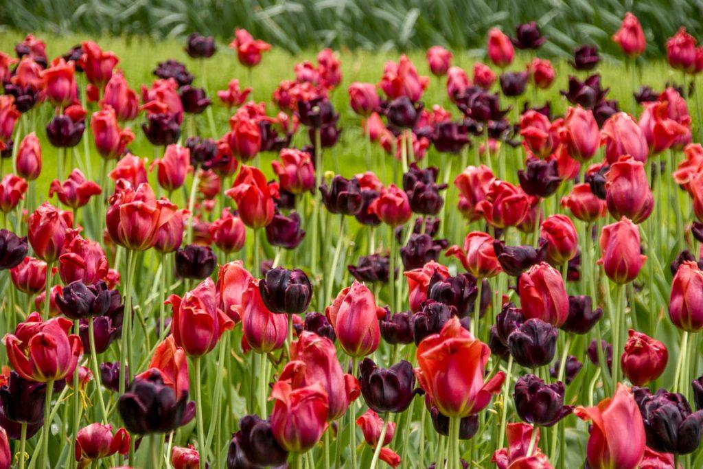 Tulpen,Keukenhof, Lisse, Zuid-Holland (2008)