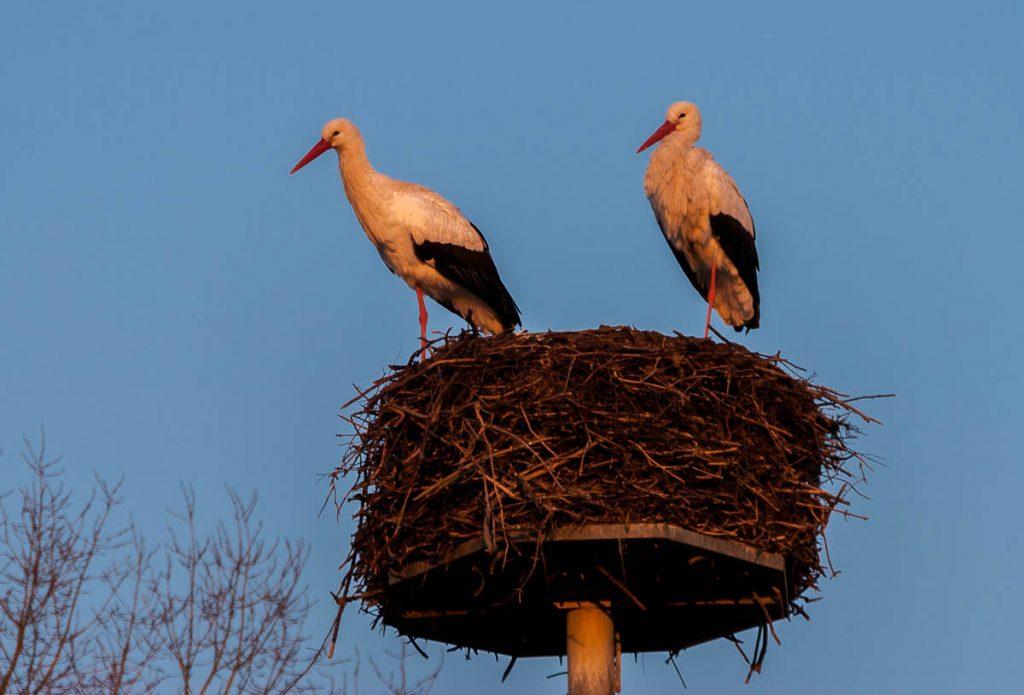 Ooievaars,Natuurpark Lelystad, Flevoland (2008)