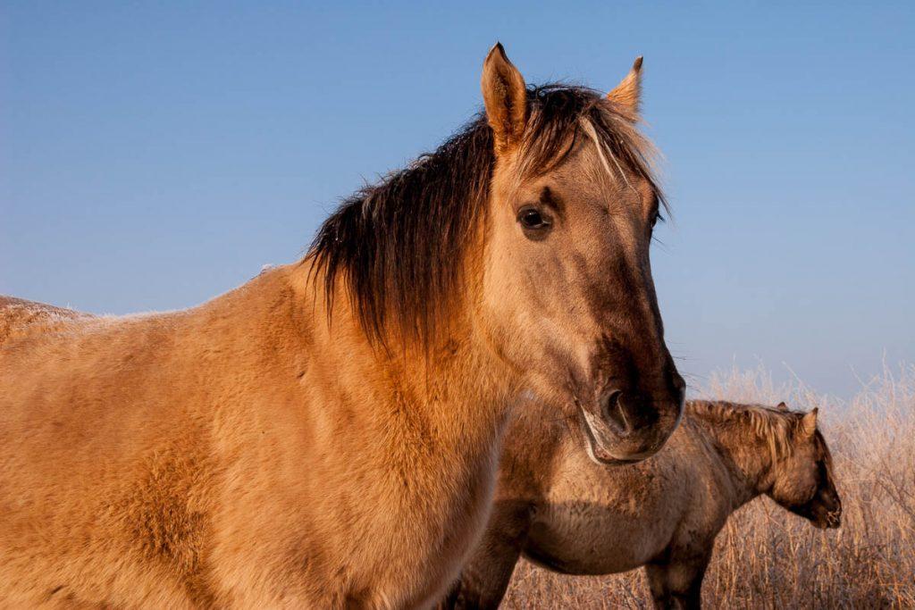 Konikpaard (Equus caballus caballus),Oostvaarders Plassen, Lelystad, Flevoland (2008)