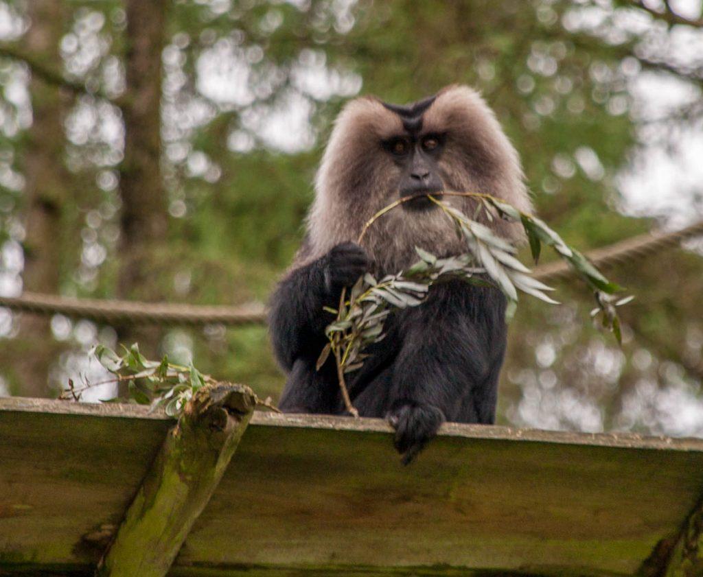 Wanderoe (Macaca silenus),Apenheul, Apeldoorn, Gelderland (2005)