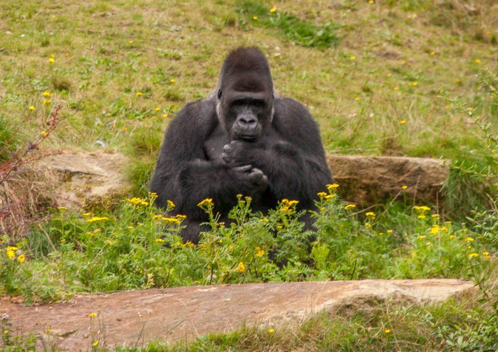 Westelijke laaglandgorilla (Gorilla gorilla gorilla),Apenheul, Apeldoorn, Gelderland (2005)