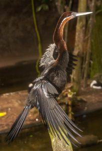 Indische slangenhalsvogel (Anhinga melanogaster)