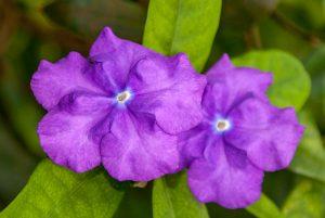 Gisteren vandaag en morgen (Brunfelsia pauciflora)
