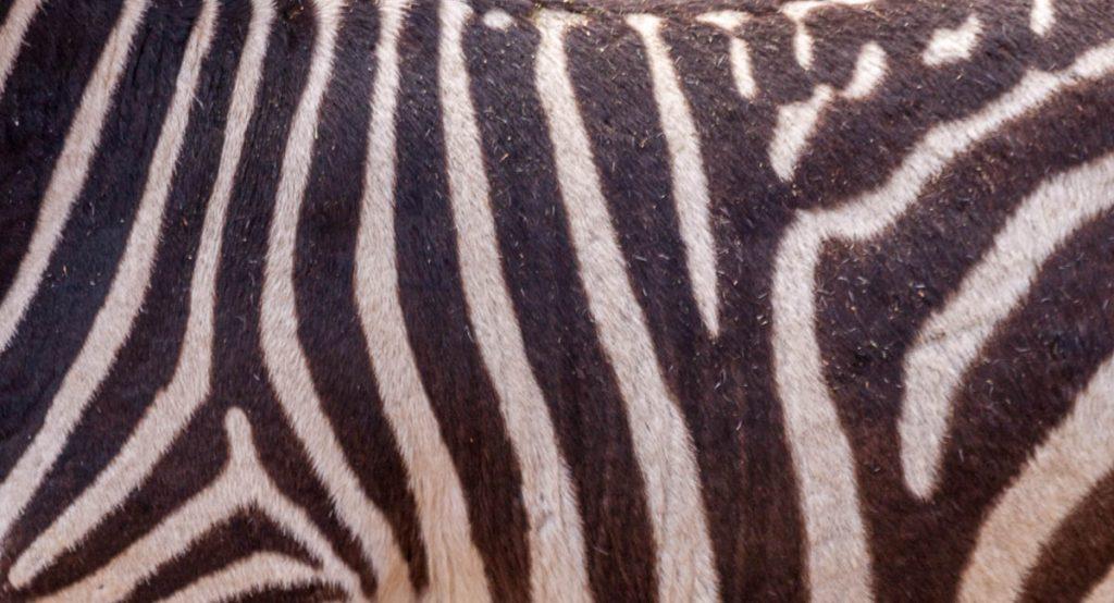 Grantzebra (Equus quagga boehmi),Burgers' Zoo, Arnhem, Gelderland (2010)