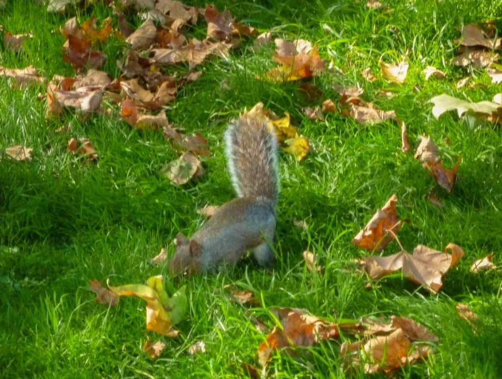 Grijze eekhoorn (Sciurus carolinensis),Hyde Park, Londen, Engeland, Verenigd Koninkrijk (2010)