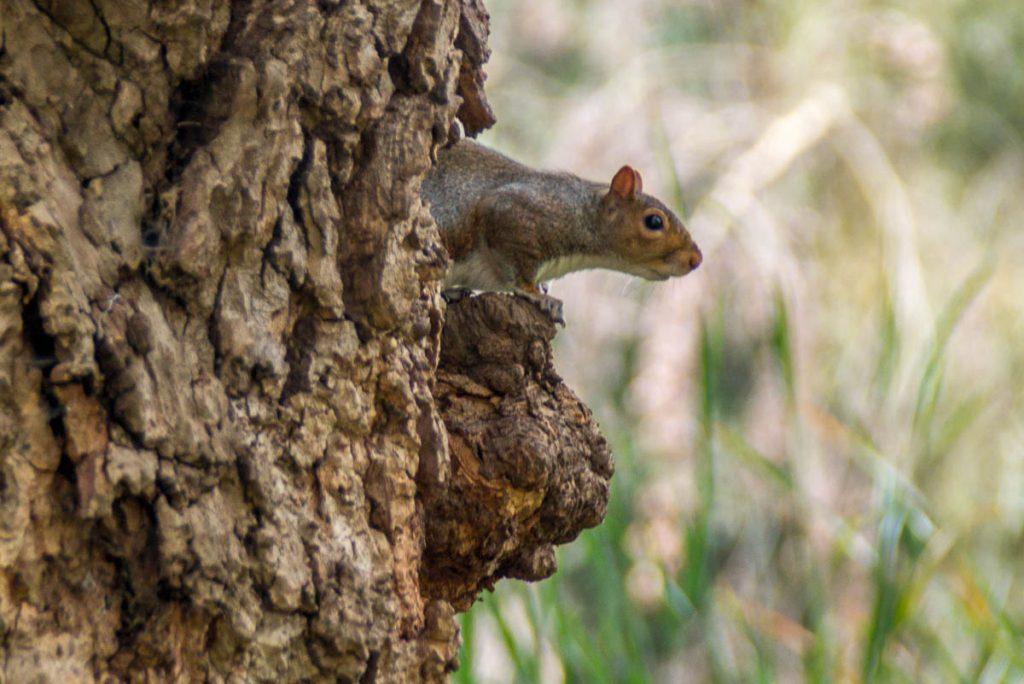 Grijze eekhoorn (Sciurus carolinensis),St. James Park, Londen, Engeland, Verenigd Koninkrijk (2010)