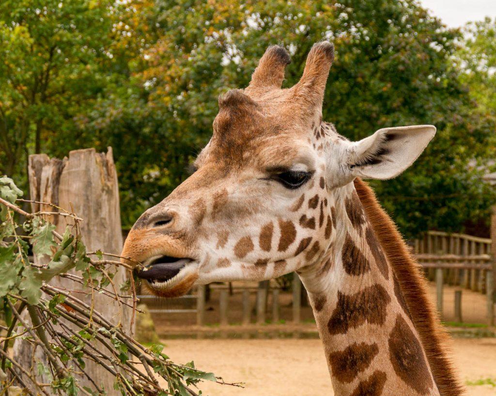 Rothschildgiraffe (Giraffa camelopardalis rothschildi),London Zoo, Londen, Engeland, Verenigd Koninkrijk (2010)