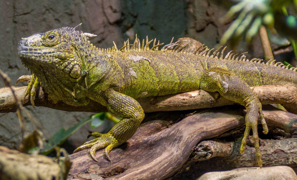 Groene Leguaan (Iguana iguana),London Zoo, Londen, Engeland, Verenigd Koninkrijk (2010)
