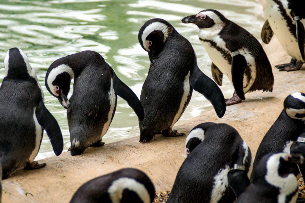Zwartvoetpinguïn (Spheniscus demersus),London Zoo, Londen, Engeland, Verenigd Koninkrijk (2010)