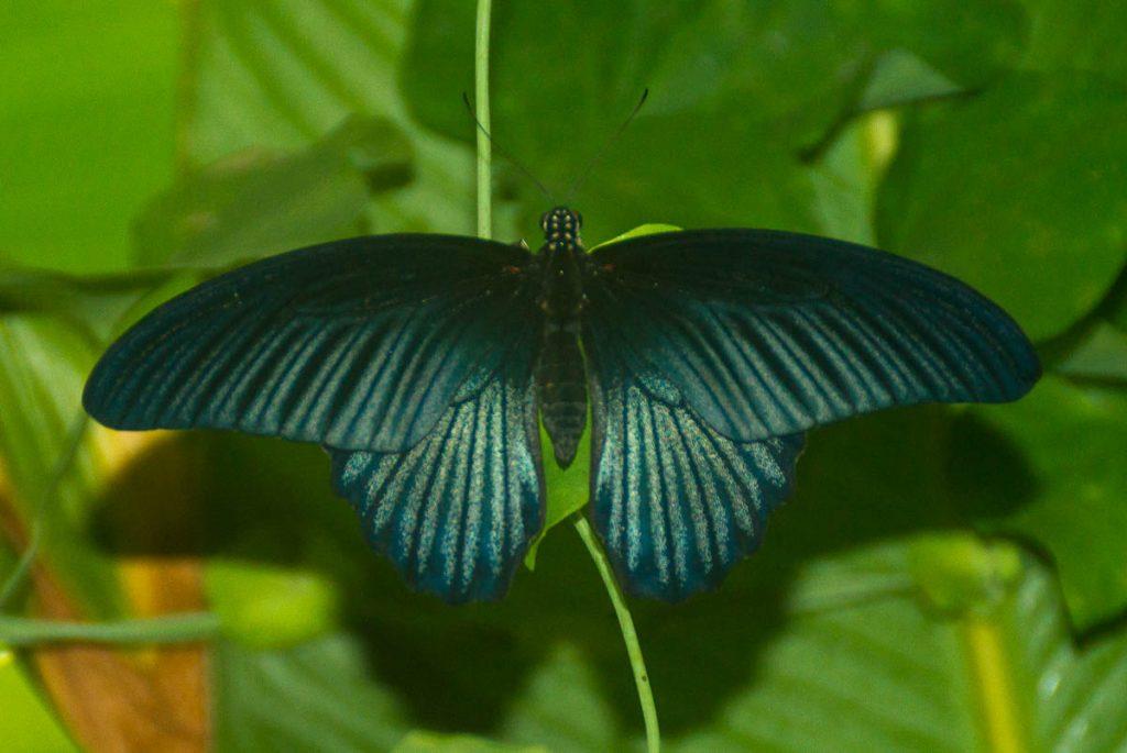 Papilio Rumanzovia,London Zoo, Londen, Engeland, Verenigd Koninkrijk (2010)