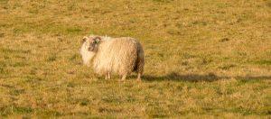 IJslanderschaap (Ovis aries)