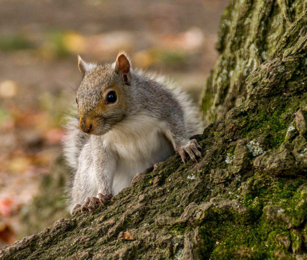 Grijze eekhoorn (Sciurus carolinensis),Boston Public Garden, Boston, Massachussetts, Verenigde Staten (2010)