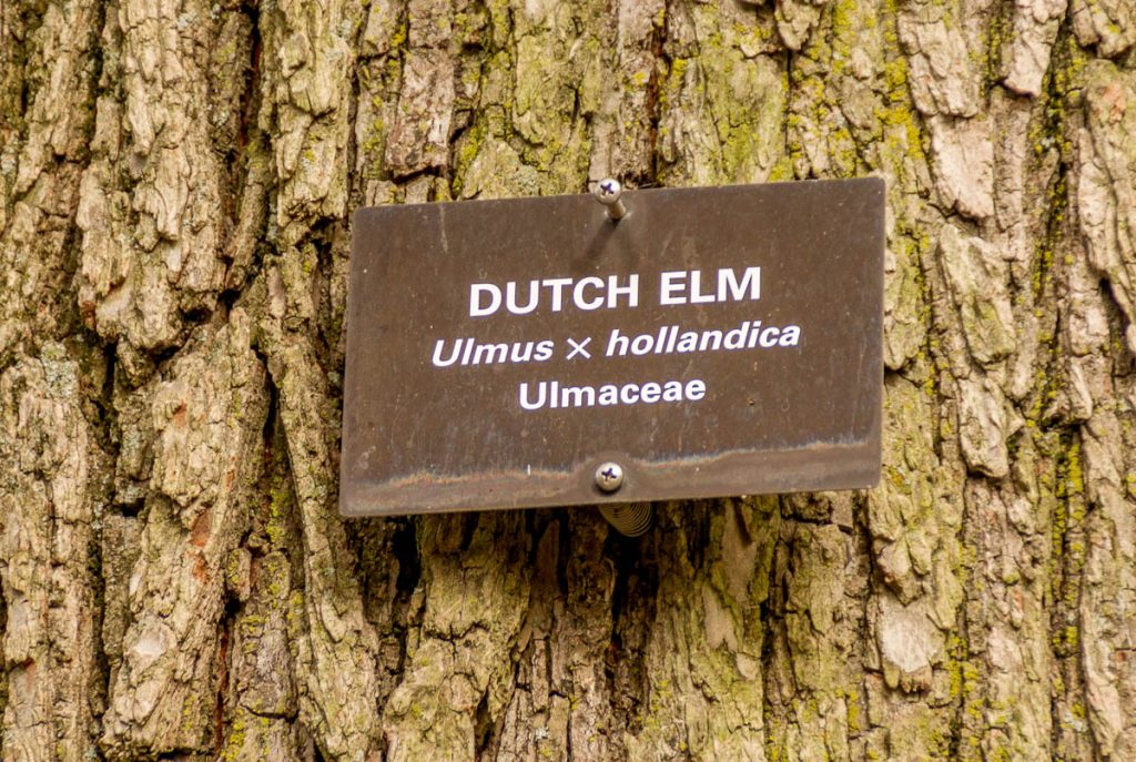 Nederlandse Iep,Boston Public Garden, Boston, Massachussetts, Verenigde Staten (2010)