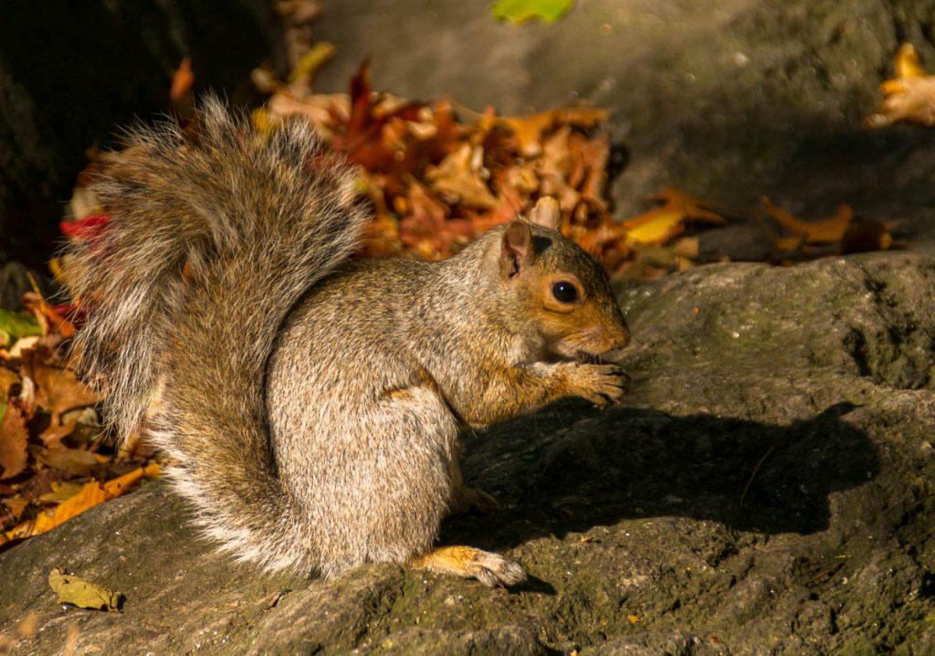 Grijze eekhoorn (Sciurus carolinensis),Central Park, New York, New York, Verenigde Staten (2010)