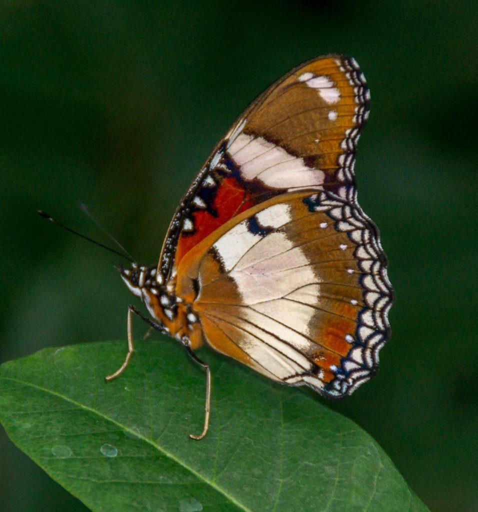 Hypolimnas Bolina,Butterfly Observatory, Niagara Falls, Ontario, Canada (2010)