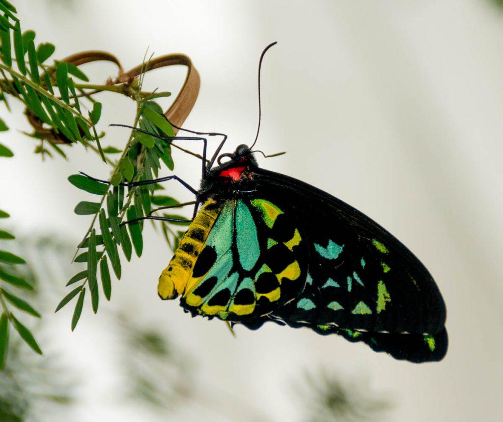 Troides Euphorion,Butterfly Observatory, Niagara Falls, Ontario, Canada (2010)