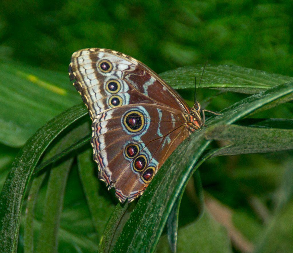 Morpho Peleides,Butterfly Observatory, Niagara Falls, Ontario, Canada (2010)