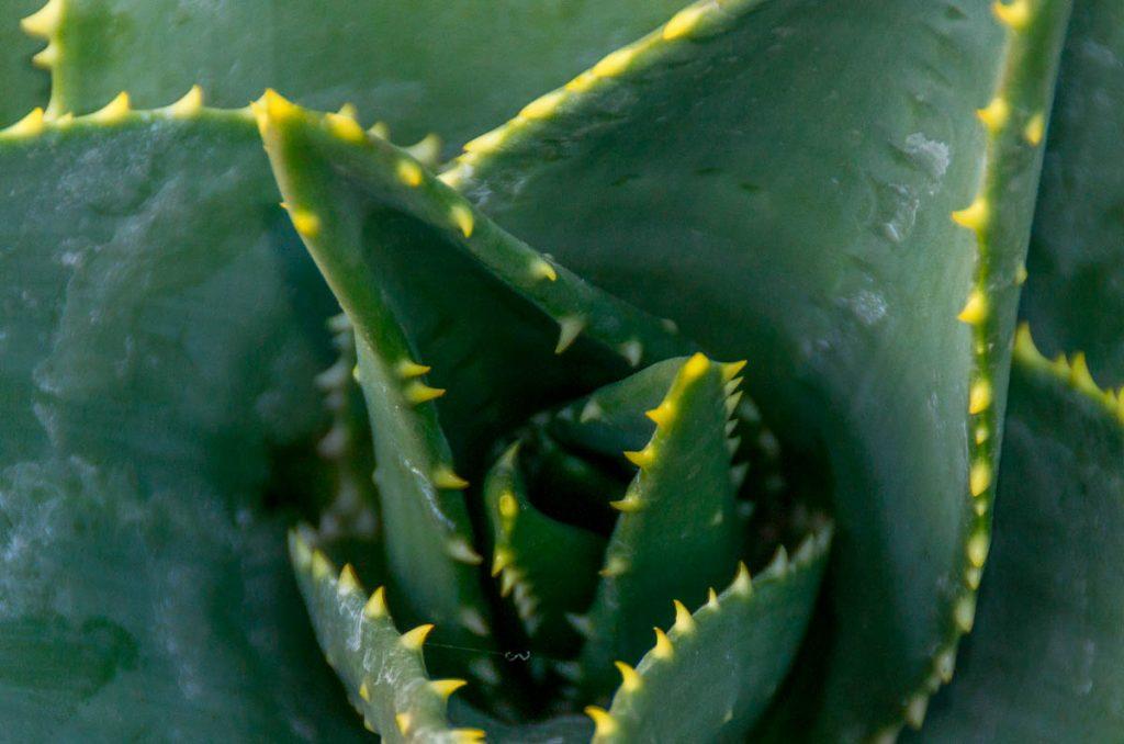 Deze plant heeft tanden,Allan Botanic Gardens, Toronto, Ontario, Canada (2010)