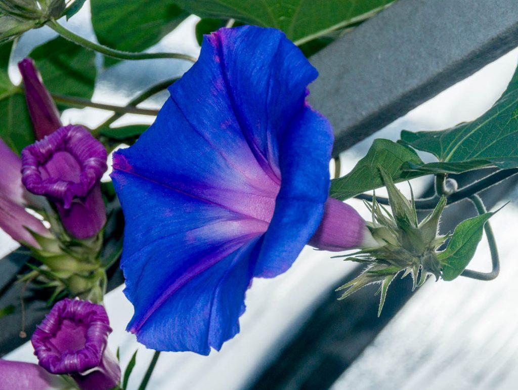 Blauwe winde (Ipomoea purpurea),Allan Botanic Gardens, Toronto, Ontario, Canada (2010)
