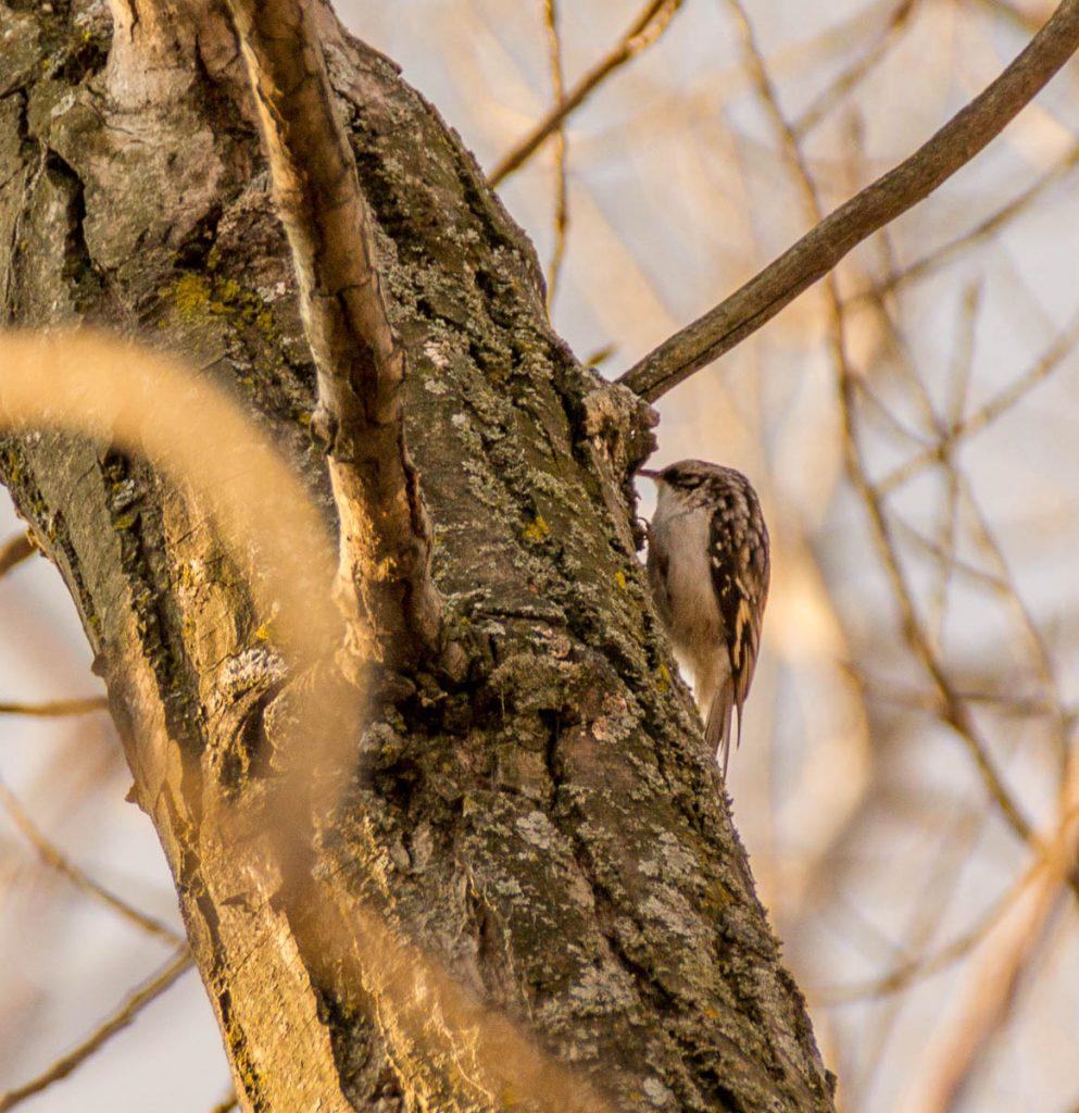 Amerikaanse boomkruiper (Certhia americana),Ashbridge's Bay Park, Toronto, Ontario, Canada (2010)