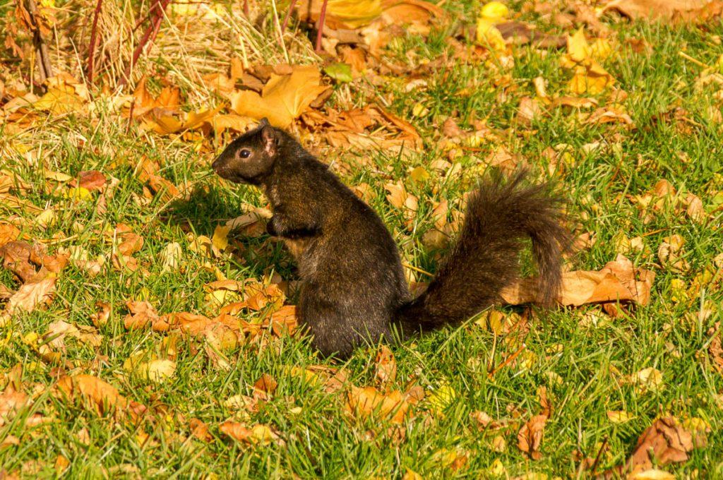 Grijze eekhoorn (Sciurus carolinensis),Toronto, Ontario, Canada (2010)